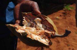 baobab e superfood